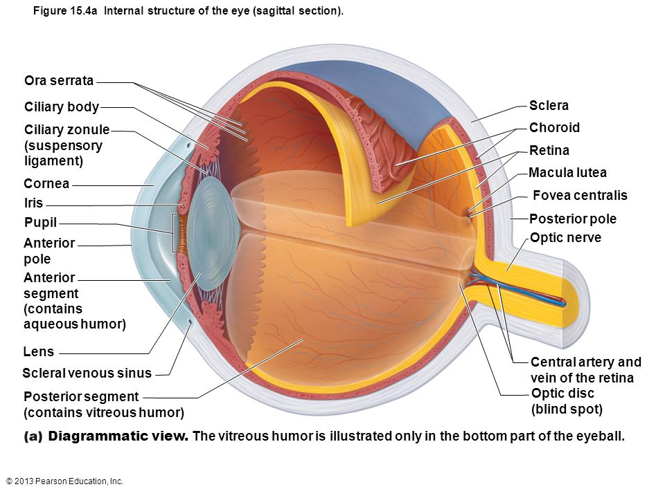 Image result for internal structure of the eye