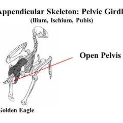 Golden Eagle Skeleton Diagram Utility Trailer Light Wiring Skeletal System Elephant Bird Madagascar Extinct 16 Th Century 49 Open Pelvis Appendicular Pelvic Girdle Ilium Ischium Pubis