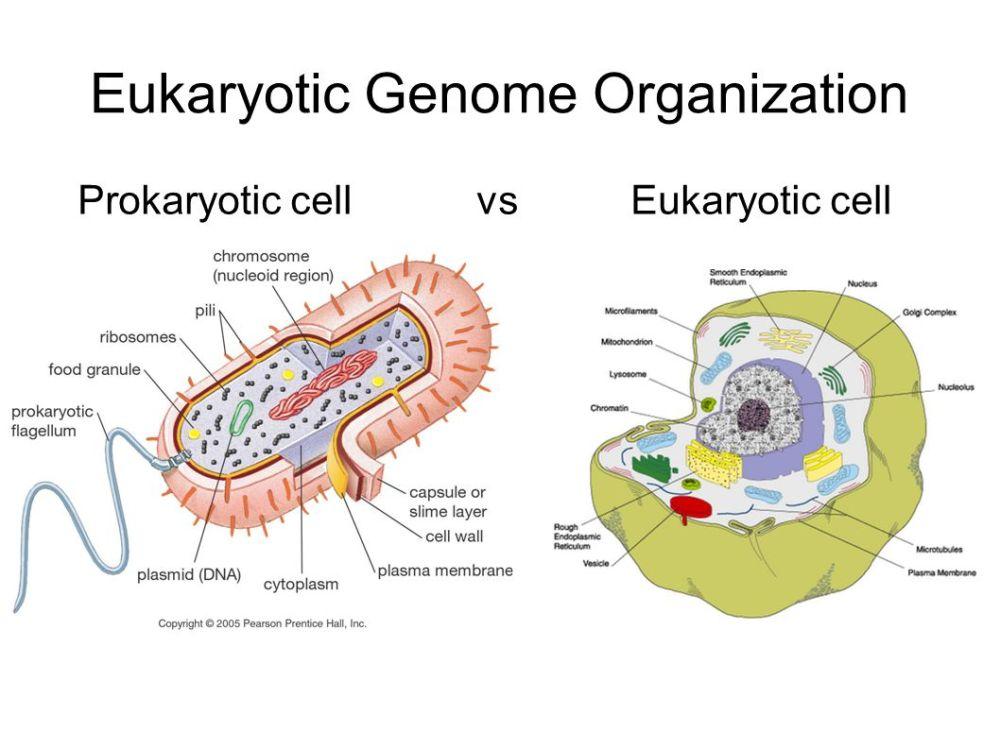 medium resolution of 2 eukaryotic genome organization prokaryotic cell vs eukaryotic cell