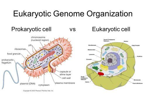 small resolution of 2 eukaryotic genome organization prokaryotic cell vs eukaryotic cell