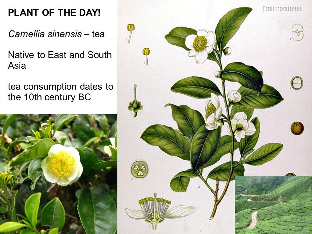 Image result for camellia sinensis