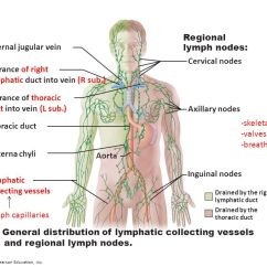 Diagram Nodes Lymphatic System Pride Mobility Victory Scooter Wiring Lymph Pearson Online Functions Of Collecting Excess Interstitial Fluid Posterior