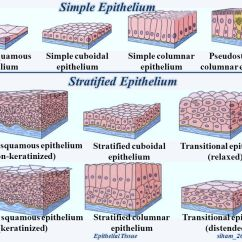 Stratified Columnar Epithelium Diagram Shunt Trip Breaker Wiring For Hood 1 Epithelial Tissue Covers Surfaces With An Uninterrupted Layer Of 10 Simple Squamous Cuboidal Pseudostratified
