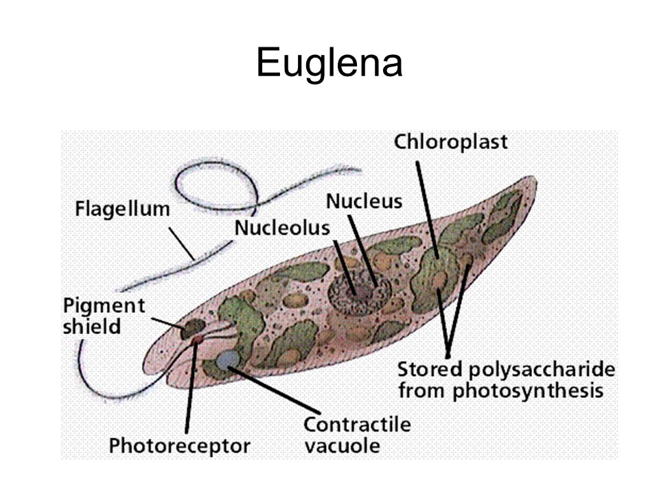 euglena cell diagram with labels 2005 dodge neon stereo wiring 19609 movieweb
