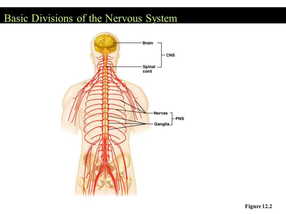 medium resolution of the nervous system communication a neurons nerve cells that nervous system diagram full neorns