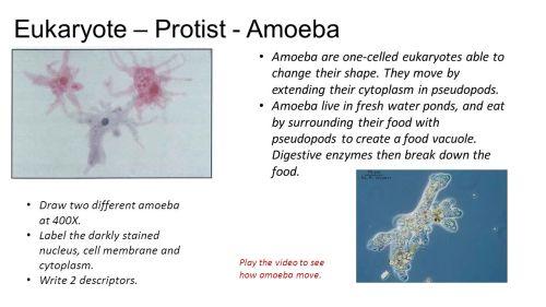 small resolution of eukaryote protist amoeba draw two different amoeba at 400x