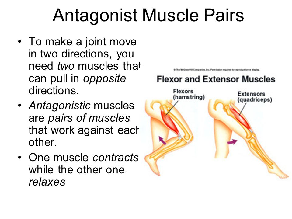 Image result for antagonistic muscles