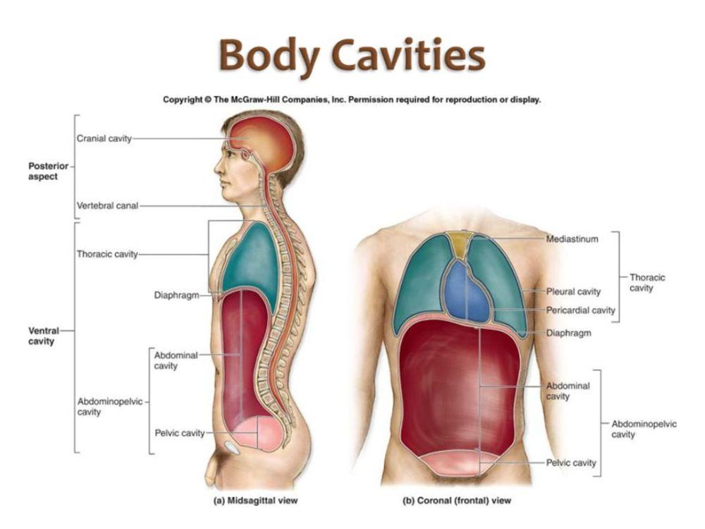medium resolution of 22 homework label the body cavities