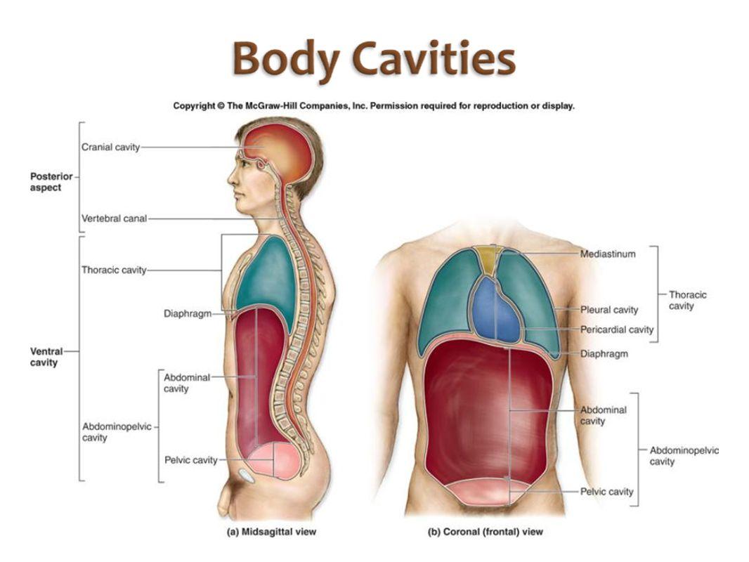 hight resolution of 22 homework label the body cavities