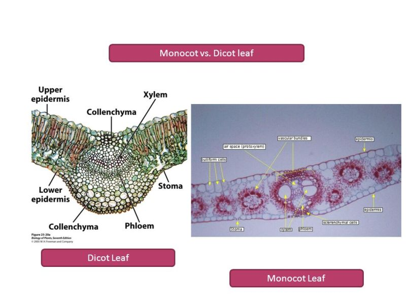 Dicot and monocot ppt