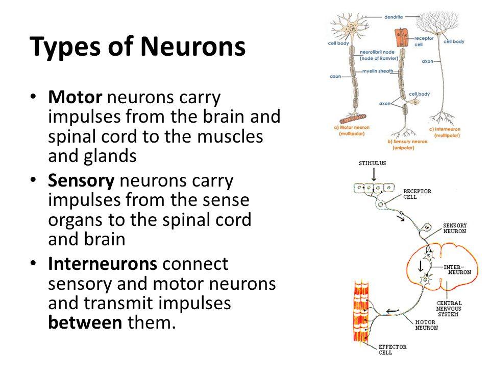 Multipolar Motor Neuron Worksheet Newmotorspot