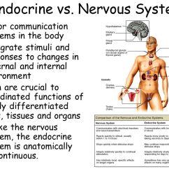 Endocrine System Diagram Different Diagrams In Software Engineering Dr Annette M Parrott Gpc Biol Ppt Download 23 Vs