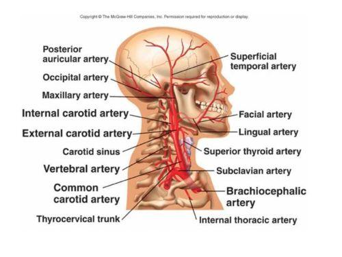small resolution of 5 external jugular vein
