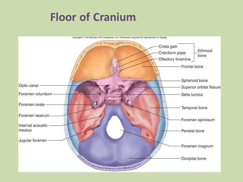 Human Skull Labeled Diagram Of Floor - DIY Enthusiasts Wiring Diagrams •