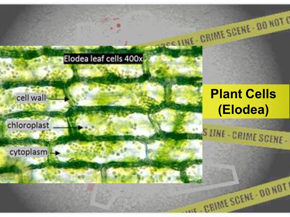 elodea leaf cell diagram trailer brake wire labeled trusted wiring online mystery cells cold case file 25436 a journey into the differences
