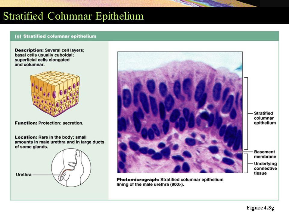 stratified columnar epithelium diagram kia sorento wiring classifications of epithelia figure 4 2 simple 20 3g