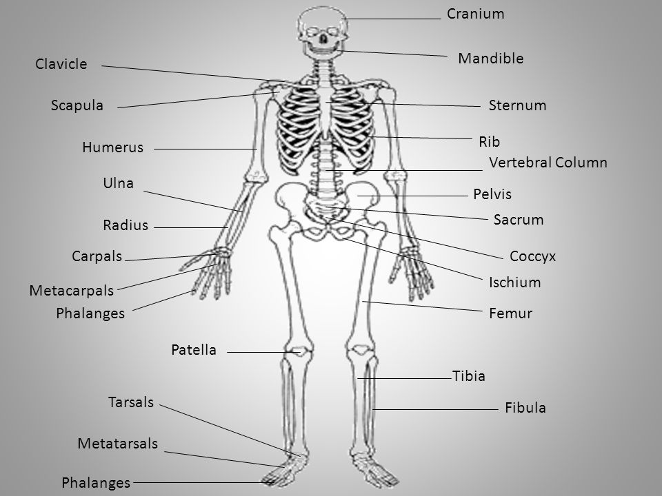 tibia and fibula blank diagram squier strat wiring radius 9 26 kenmo lp de online rh 11 lightandzaun ulna vs left anterior