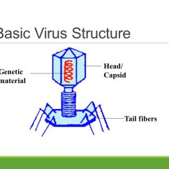 Basic Virus Diagram 5 Layers Of Epidermis Warm Up What Makes Something Alive Is The Common Cold A Or 4 Head Capsid Genetic Material Tail Fibers Structure