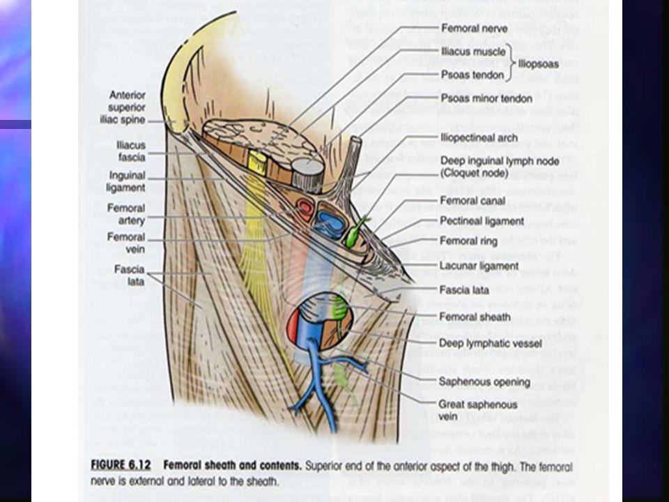 Femoral Canal Anatomy Images - human anatomy diagram organs