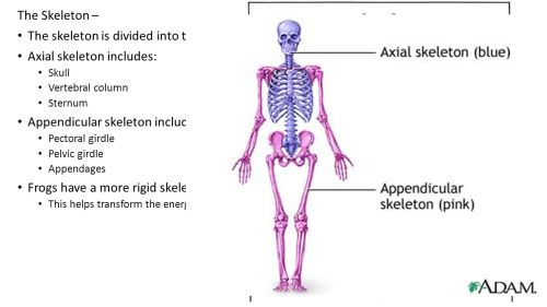 small resolution of 6 the skeleton the skeleton is divided into two parts the axial and appendicular skeleton axial skeleton includes skull vertebral column sternum