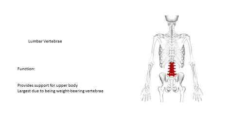 small resolution of 28 lumbar vertebrae function provides support for upper body largest due to being weight bearing vertebrae