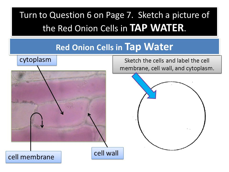 onion cell diagram s10 starter wiring label data diagrams lose red 100x labeled