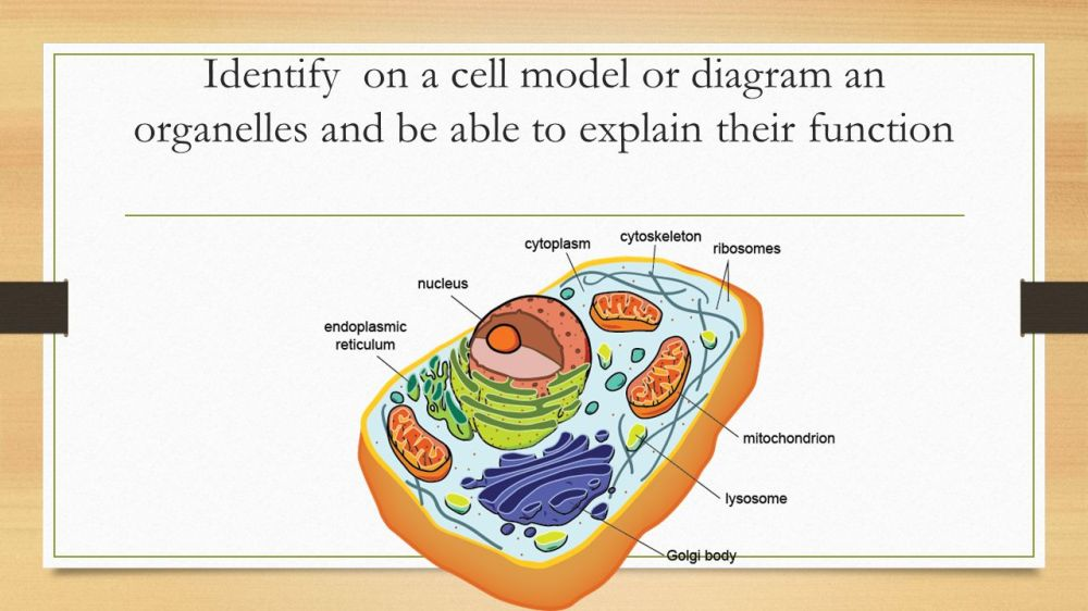 medium resolution of 1 identify on a cell model or diagram an organelles and be able to explain their function