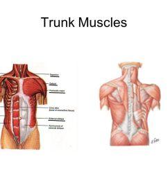 1 trunk muscles [ 1058 x 793 Pixel ]