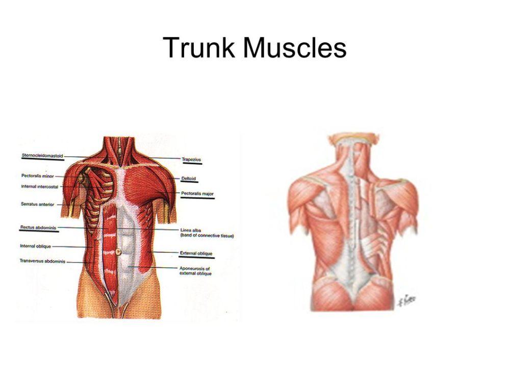 medium resolution of 1 trunk muscles