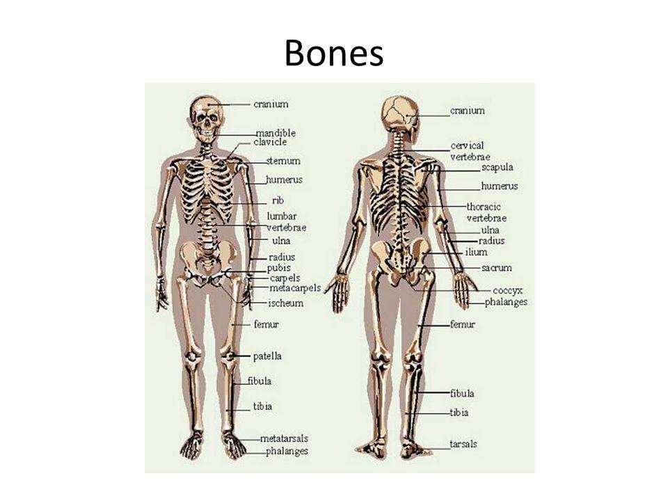 human skeleton and muscles diagram 2007 jeep patriot headlight wiring skeletal bones muscular integumentary skin systems 3