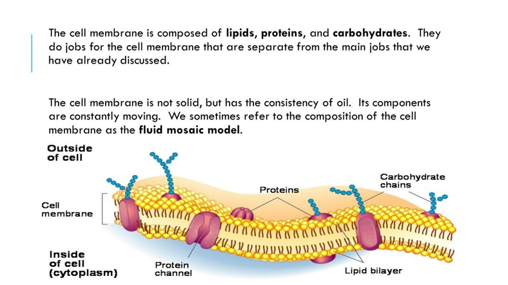 medium resolution of the cell membrane is composed of lipids proteins and carbohydrates