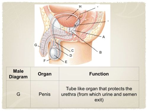 small resolution of 8 male diagram organfunction gpenis tube like organ that protects the urethra from which urine and semen exit a b c d e a f g h