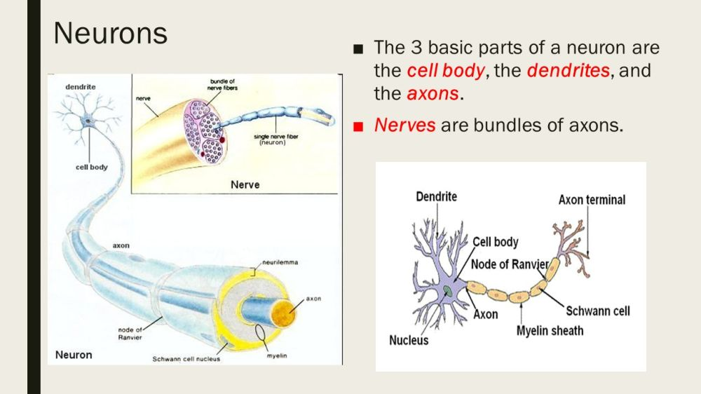 medium resolution of neurons the 3 basic parts of a neuron are the cell body the dendrites