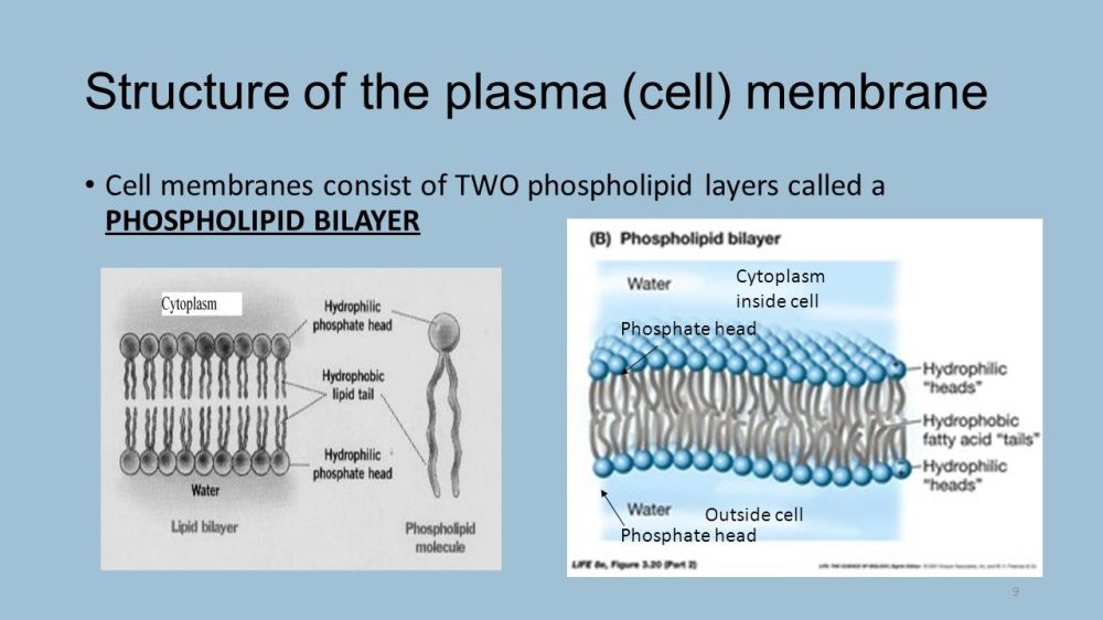 medium resolution of 9 structure of the plasma cell membrane cell membranes consist of two phospholipid layers called a phospholipid bilayer phosphate head cytoplasm inside