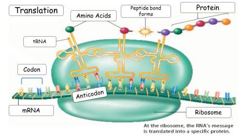 small resolution of dna to proteins transcription and translation sickle cell anemia amino acid translation chart 10 peptide bond