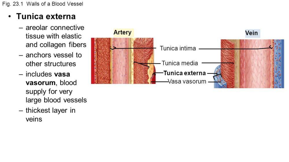 medium resolution of 6 fig 23 1 walls of a blood vessel