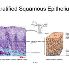 Stratified Columnar Epithelium Diagram 2005 Honda Accord Starter Wiring Chapter 4 Tissues Four Tissue Types Epithelia Connective Muscle 10 Squamous
