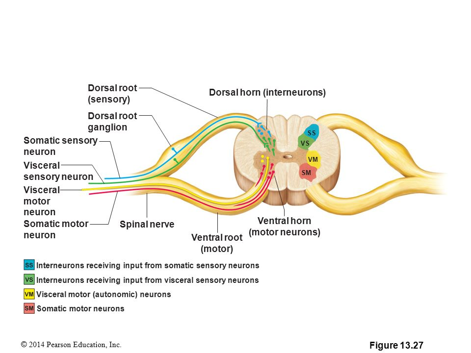 Ventral Root Motor Or Sensory Newmotorspot