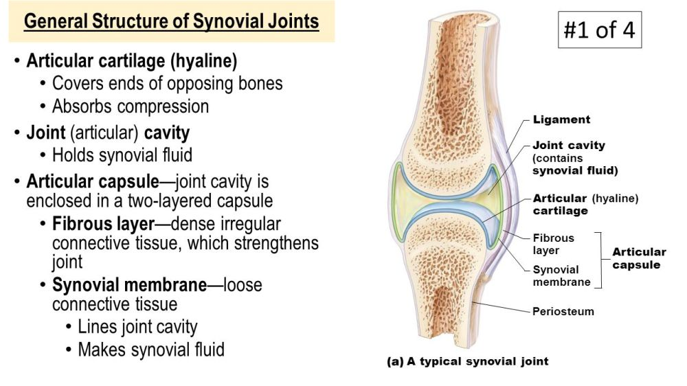 medium resolution of 12 general structure of synovial joints articular cartilage hyaline covers ends of opposing bones absorbs compression joint articular cavity holds