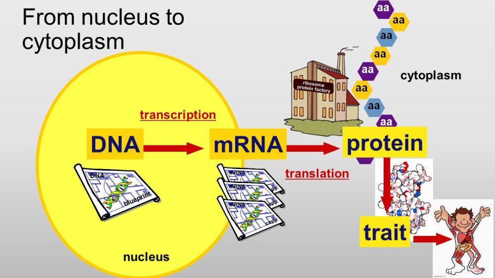 medium resolution of 5 cell organization