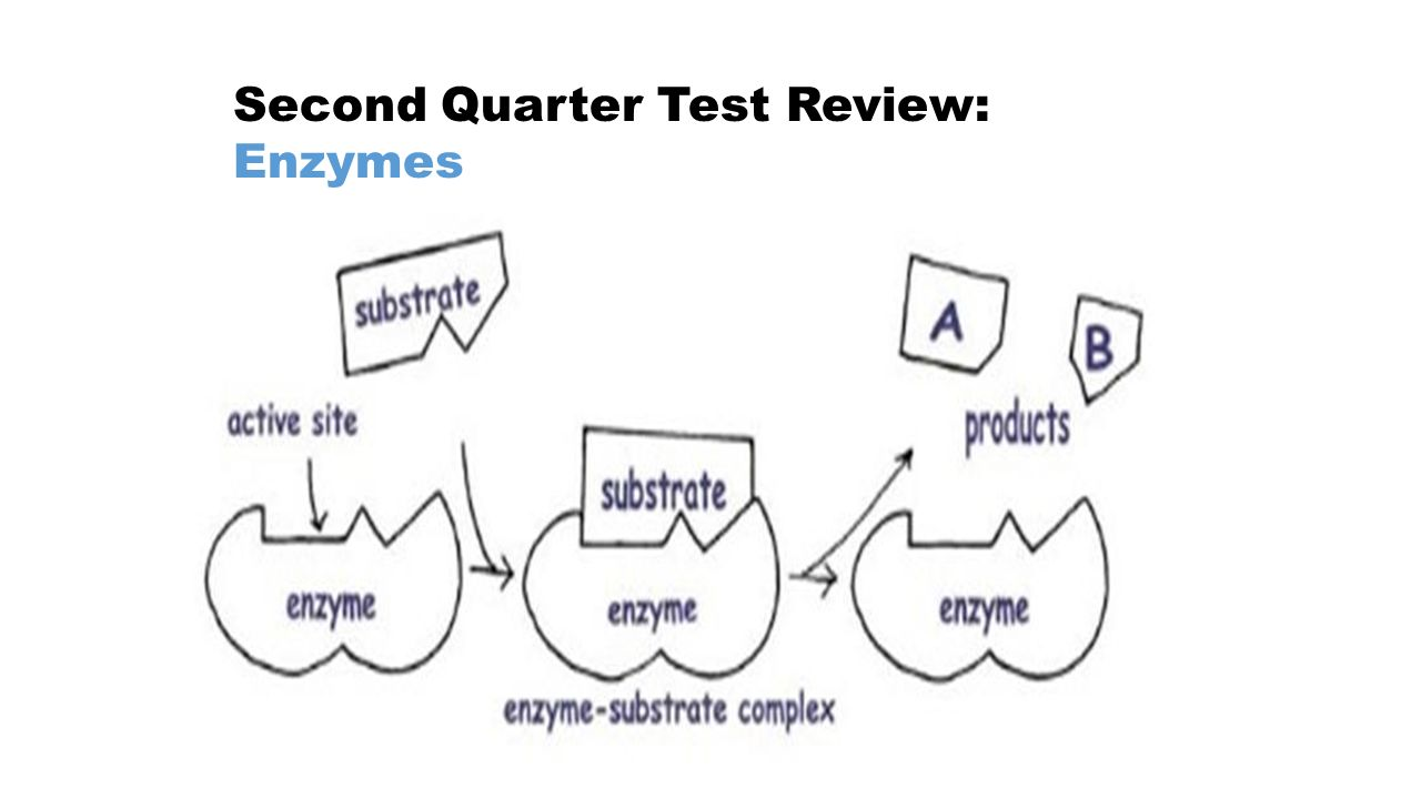 hight resolution of 6 second quarter test review eukaryotic vs prokaryotic cells eukaryotes animal and plant cells they have a nucleus mitosis linear dna organelles