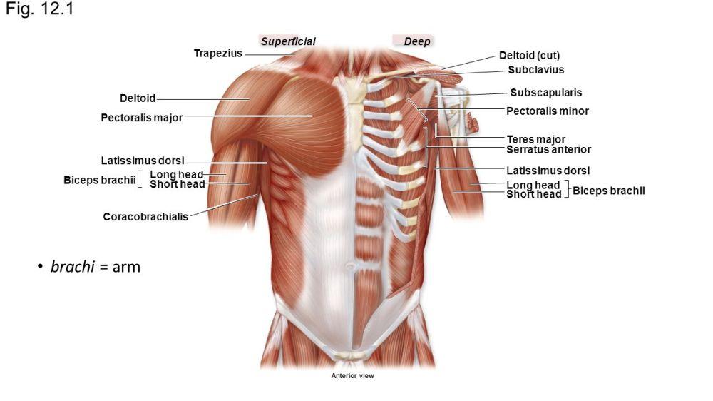 medium resolution of 2 fig 12 1 deepsuperficial trapezius deltoid pectoralis major