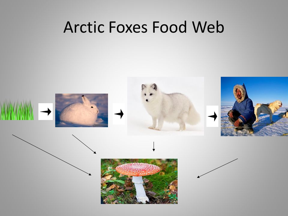arctic fox food chain diagram xtrons stereo wiring foxes by emma defrang and jenna kumasaka pictures 16 web
