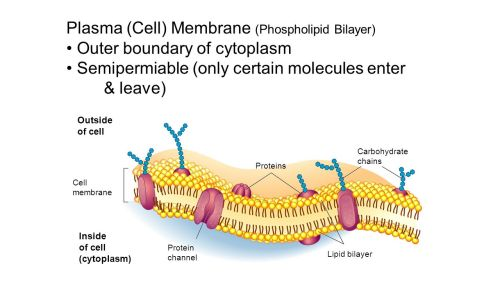 small resolution of 4 plasma cell membrane phospholipid bilayer outer boundary of cytoplasm semipermiable only certain molecules enter leave outside of cell inside of