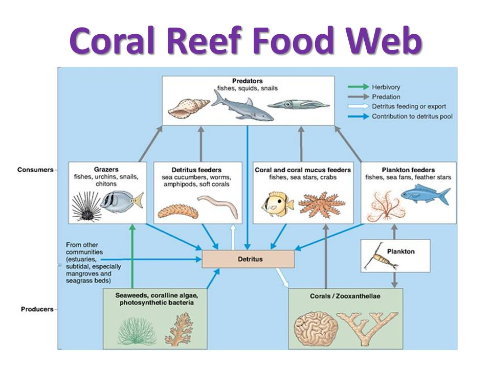 coral reef food chain diagram kia rio 2003 stereo wiring seaweed photosynthetic bacteria and corals gt plankton grazers feeders