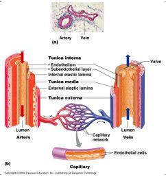 5 blood vessel anatomy table 19 1 [ 1066 x 800 Pixel ]