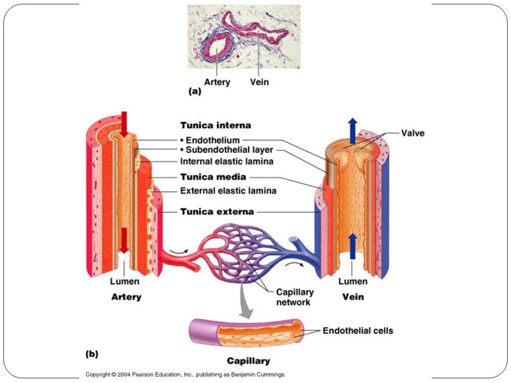 medium resolution of 5 blood vessel anatomy table 19 1