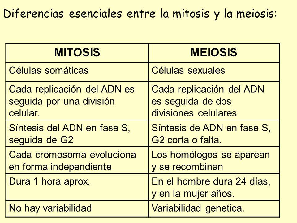 Bonito La Mitosis Frente Hoja De La Meiosis Colección - hojas de ...