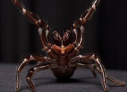 funnel web spider female