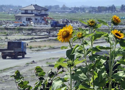 Sunflowers are seen in the tsunami hit field in in Natori.